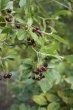 Aronia melanocarpa灌木  库存图片