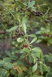 Aronia melanocarpa灌木  库存照片