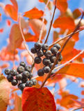 Aronia melanocarpa Royalty Free Stock Photos