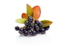 Aronia melanocarpa czerni chokeberry z liśćmi Zdjęcie Royalty Free