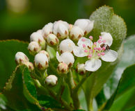 Aronia melanocarpa. Flowering with white flowers Royalty Free Stock Photo