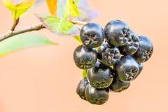 Aronia melanocarpa, ripe aronia berries royalty free stock images