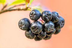 Aronia melanocarpa, ripe aronia berries royalty free stock photos