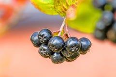 Aronia melanocarpa, ripe aronia berries stock photos