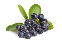 Aronia melanocarpa som kallas den svarta chokeberryen bakgrund isolerad white Royaltyfri Bild