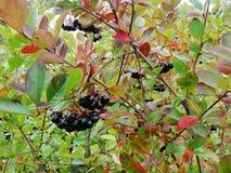Aronia na drzewa zakończeniu up Fotografia Stock