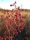 A Aronia Plant with Red Berries in the Sun in the Fall. Royalty Free Stock Photo