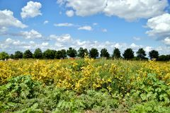 Aronia plantation in golden colour and a line up of trees with blue sky backgrounds with clouds in beautiful rhineland palatinate. royalty free stock photos