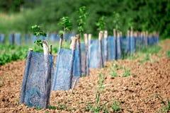 Aronia plantation Royalty Free Stock Image
