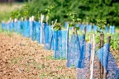 Aronia plantation Stock Images