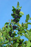 Aronia shrub. With fruit against bright blue sky Stock Photography