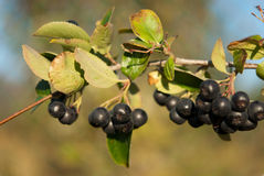 Aronia shrub Royalty Free Stock Photography