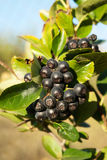 Aronia shrub. Close up on the leaves and berries of Aronia shrub Stock Photography