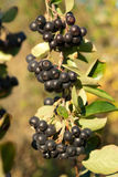Aronia shrub Stock Photos