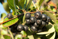 Aronia shrub Stock Photo