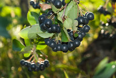 Aronia shrub Royalty Free Stock Image