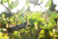 Aronia shrub Royalty Free Stock Photos