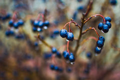 Aronia shrub Stock Images