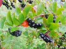 Aronia sulla fine dell'albero su Fotografie Stock Libere da Diritti