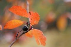 Aronia tree in autumn season Stock Photos
