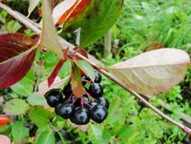 Aronia on tree close up. Royalty Free Stock Images