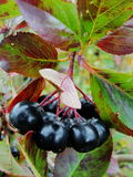Aronia on tree close up. Stock Photography
