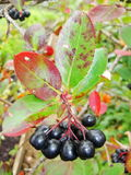 Aronia on tree close up. Black aronia berry quince growing brush and hidden green foliage on the branches of a bush. In russian cultivated the garden in early Stock Photography