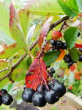 Aronia on tree close up. Stock Images