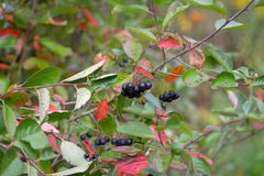 Black Aronia berries on branches decorated with colorful leaves: royalty free stock image