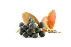 Aronia - Zwarte Chokeberry. royalty-vrije stock afbeeldingen