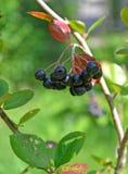 aroniya山脉灰的莓果黑结了果实Aronia melanocarpa Michx elliott 库存照片