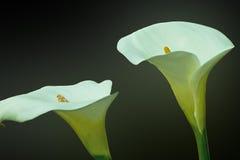 Aronskelk lillies, cala Royalty-vrije Stock Afbeeldingen