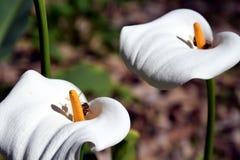 Aronstab oder Calla Lily Zantedeschia in einem Blumenbeet Stockbild