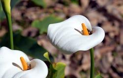 Aronstab oder Calla Lily Zantedeschia in einem Blumenbeet Lizenzfreies Stockbild