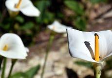 Aronstab oder Calla Lily Zantedeschia in einem Blumenbeet Lizenzfreies Stockfoto