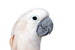 Aros brancas bonitas do papagaio Isolado no fundo branco com co Imagem de Stock Royalty Free
