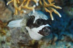 Arothron diadematus - maskerad pufferfisk - rött hav Fotografering för Bildbyråer