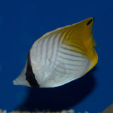 Auriga Butterflyfish. The Arothron Dog Face Puffer, also known as the Blackspotted Puffer, gets its name from its resemblance to canines. It changes appearance Royalty Free Stock Image