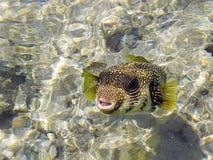 Arothron-hispidus Fische Stockfotos