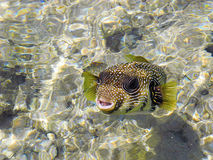 Arothron hispidus fish. Friendly Arothron hispida fish in the Red Sea Stock Photos