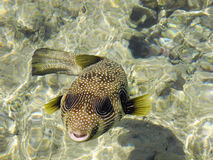 Arothron hispidus fish. Friendly Arothron hispida fish in the Red Sea Royalty Free Stock Photos
