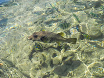 Arothron hispidus fish. Friendly Arothron hispida fish in the Red Sea Stock Photography