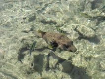 Arothron hispidus fish. Friendly Arothron hispida fish in the Red Sea Royalty Free Stock Photography