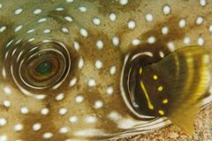 Arothron hispidus - Puffer fish. This underwater picture was taken off Sangalaki island, East Kalimantan, Borneo Indonesia Stock Photography