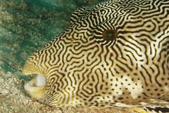 Arothron mappa - Scirbbled puffer fish. This underwater picture was taken off Sangalaki island, East Kalimantan, Borneo Indonesia Royalty Free Stock Images