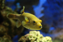 Arothron meleagris. Fish (Yellow form), underwater photography Royalty Free Stock Photos