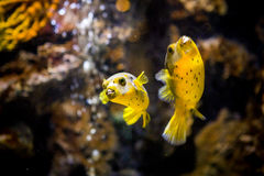 Arothron nigropunctatus macchiato o cane affrontato del pesce della soffiatore fotografie stock