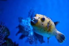 Arothron nigropunctatus yellow. Poisonous fugy fish and red lion. Fish behind stock images
