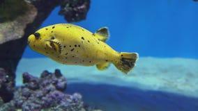 Arothron is soort vissen in de video van de de voorraadlengte van familietetraodontidae stock videobeelden