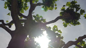 Around a Plane Tree in an Arc. An arc is filmed around a plane tree. The sun glows brightly between the leaves and branches on a clear bright sunny day stock video footage